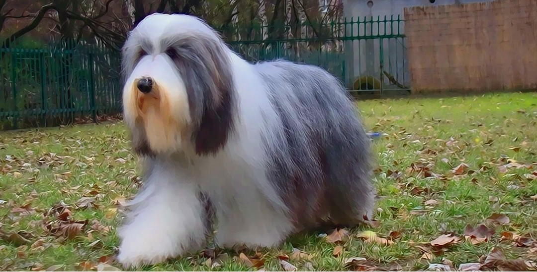 Úprava Bearded collie