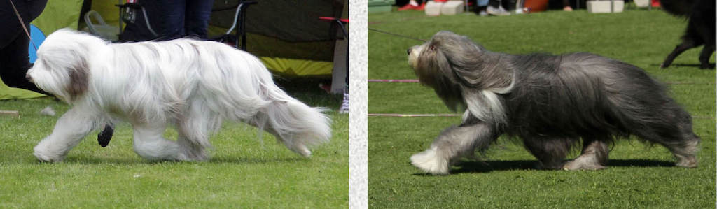 Collors in Bearded collie